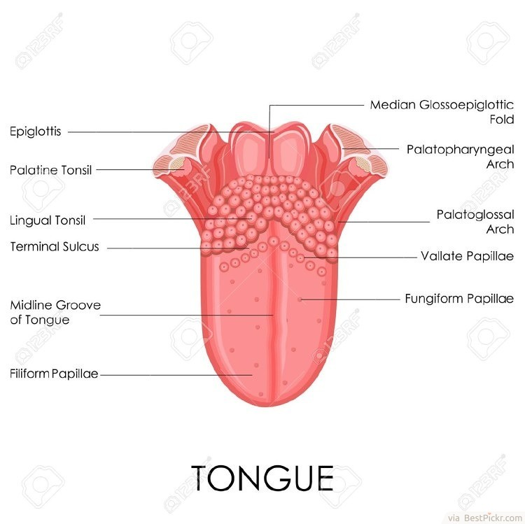 The Strongest Muscle In The Body Is The Tongue ❥❥❥ http://bestpickr.com/interesting-facts-about-human-body
