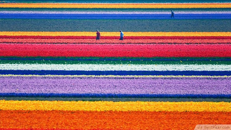 Tulip Fields, Netherlands ❥❥❥ http://bestpickr.com/most-beautiful-places-to-visit