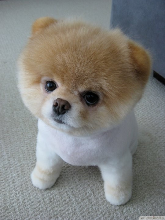 The Cutest Dog In The World 37 Best Pomeranian Breed Pictures Of
