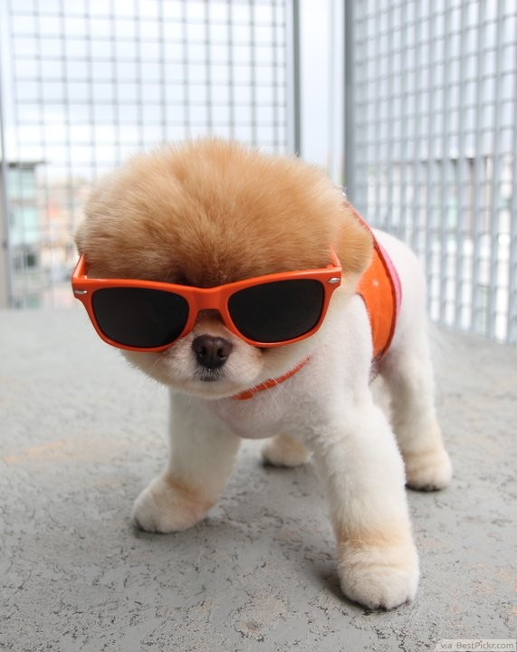 Cool-Small-Dog-with-Stylish-Sunglasses