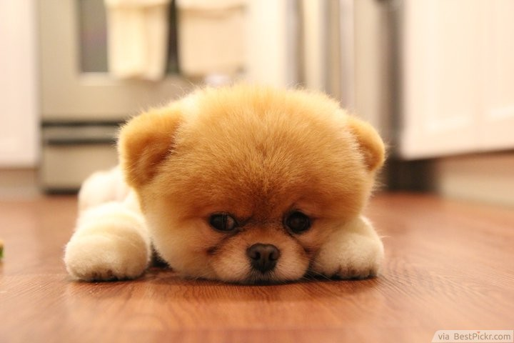 Little Cute Dog Lying Bored