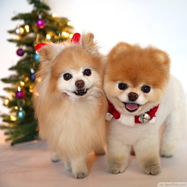 The Most Beautiful Toy Pomeranians In World Http Bestpickr Cutest Dog Boo