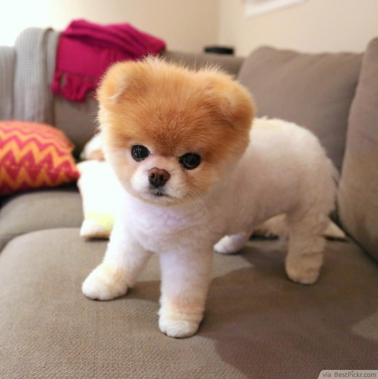 The Cutest Dog In The World - 37 Best Pomeranian Breed Pictures Of Boo ...