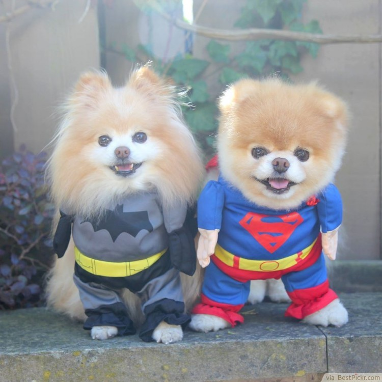 Twin Cute Dogs Dressed In Super Hero Batman And Superman Costumes For Http Bestpickr Cutest Dog The World Boo